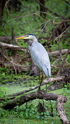 Photograph - Great Blue Heron by Brad Marzolf Photography