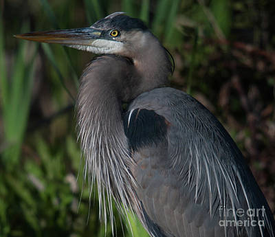 Photograph - Great Blue Heron by Dale Powell