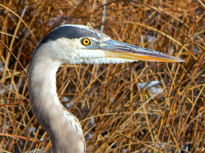 Photograph - Great Blue Heron by Dan Miller