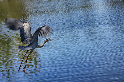 Photograph - Great Blue Heron by Diana Haronis