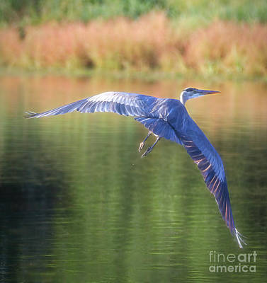Photograph - Great Blue Heron by Elizabeth Winter