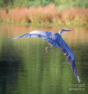 Photograph - Great Blue Heron by Elizabeth Winter