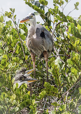Photograph - Great Blue Heron Family by Patti Deters