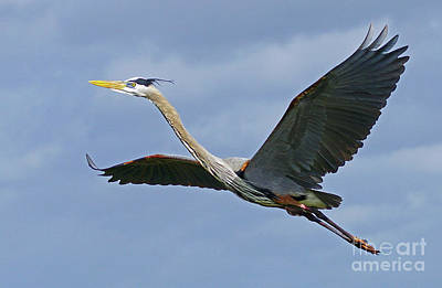 Photograph - Great Blue Heron Flight 2 by Larry Nieland