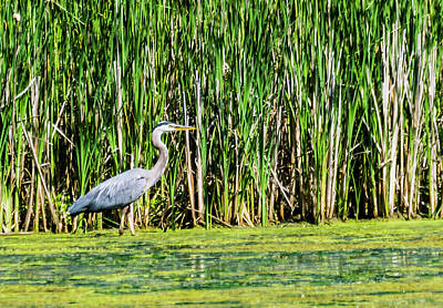 Photograph - Great Blue Heron Hunting by Edward Peterson