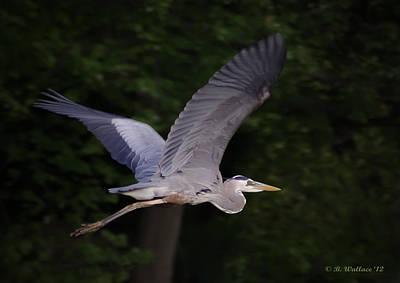 Great Blue Heron In Flight Art Print by Brian Wallace