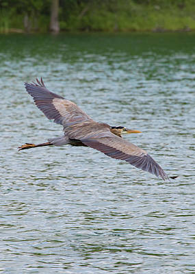 Photograph - Great Blue Heron In Flight by Ron Grafe