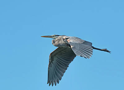 Photograph - Great Blue Heron by Jim Zablotny