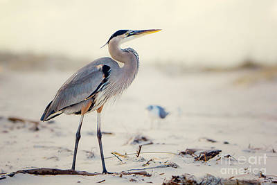 Beach Royalty-Free and Rights-Managed Images - Great Blue Heron  by Joan McCool