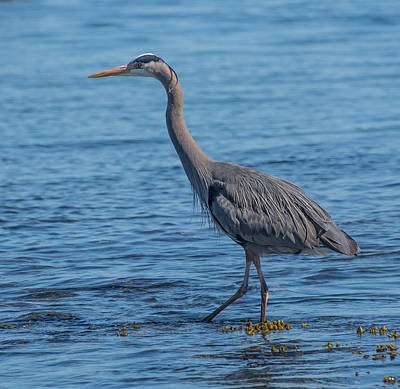 Photograph - Great Blue Heron by Keith Boone