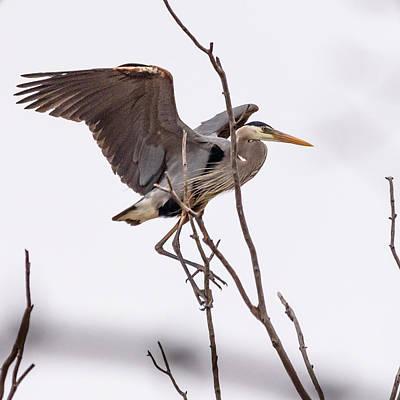 Photograph - Great Blue Heron by Randy Scherkenbach