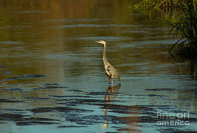 Photograph - Great Blue Heron by Robert Bales