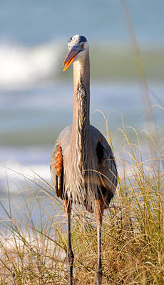 Photograph - Great Blue Heron  by Rose  Hill