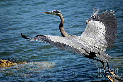 Photograph - Great Blue Heron Takes Flight by Terry Elniski