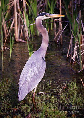 Photograph - Great Blue Heron by Tom Brickhouse