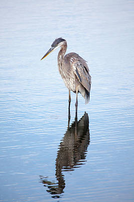 Photograph - Great Blue by Karol Livote