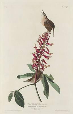 Audubon Drawing - Great Carolina Wren by Dreyer Wildlife Print Collections