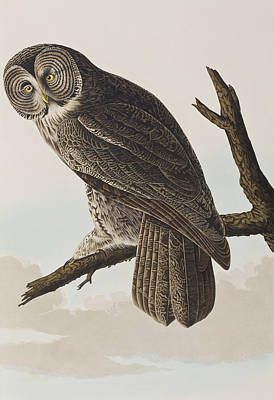 Great Drawing - Great Cinereous Owl by John James Audubon