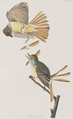 Flycatcher Drawing - Great Crested Flycatcher by John James Audubon
