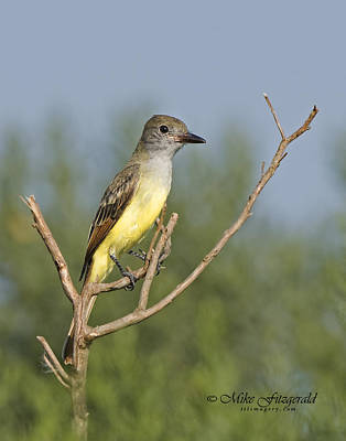 Photograph - Great Crested Flycatcher by Mike Fitzgerald