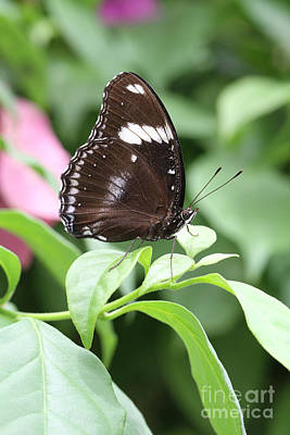 Tropical Photograph - Great Eggfly Butterfly #3 by Judy Whitton