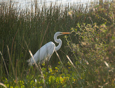 Red Roses - Great Egret at Coba Village by Carol Ailles