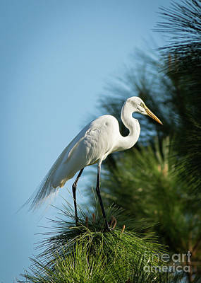 Photograph - Great Egret by Brad Marzolf Photography