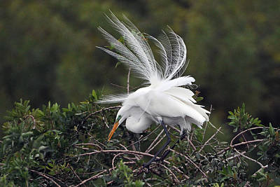 Photograph - Great Egret Bridal Train by Alan Lenk