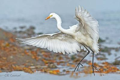 Photograph - Great Egret by CR Courson