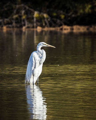 Photograph - Great Egret-img_037918 by Rosemary Woods-Desert Rose Images
