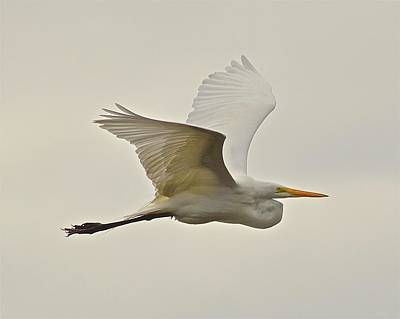 Photograph - Great Egret In Flight by Carol Bradley