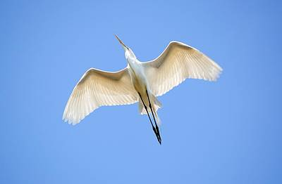 Great Egret In Flight Original by Kenneth Albin