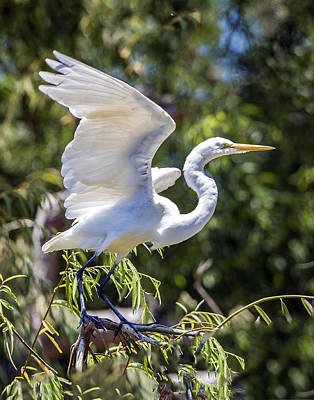 Photograph - Great Egret Landing On Tree by William Bitman