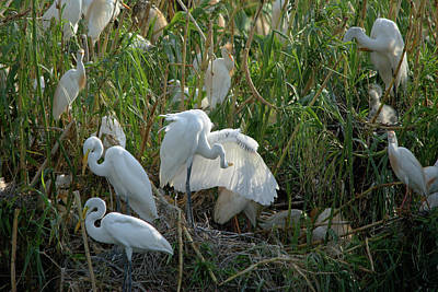 Photograph - Great Egret Preening The Left Wing by Roy Williams