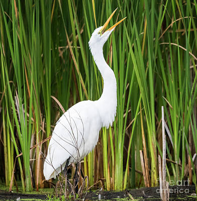 Photograph - Great Egret by Ricky L Jones