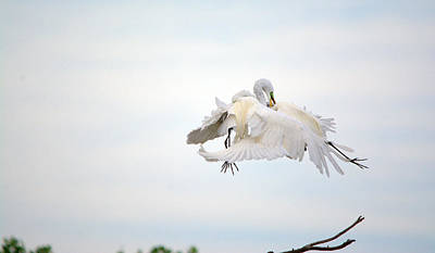 Great Egrets Mating Dispute Series  Art Print