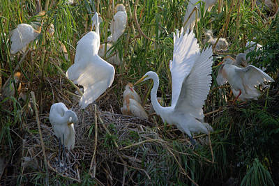 Photograph - Great Egrets Preening And Cattle Egrets Activity by Roy Williams