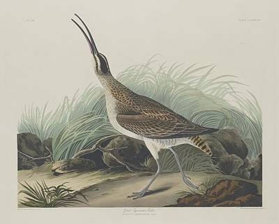 Seagull Drawing - Great Esquimaux Curlew by Dreyer Wildlife Print Collections