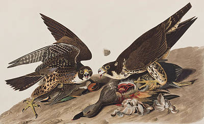 Hawk Painting - Great-footed Hawk by John James Audubon