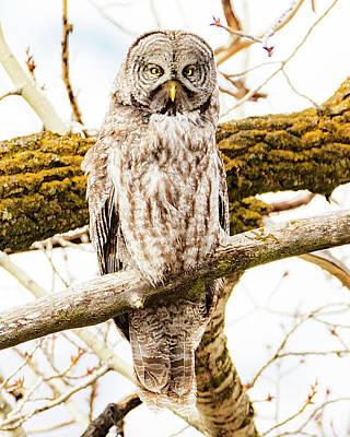 Photograph - Great Gray Owl by Norman Hall