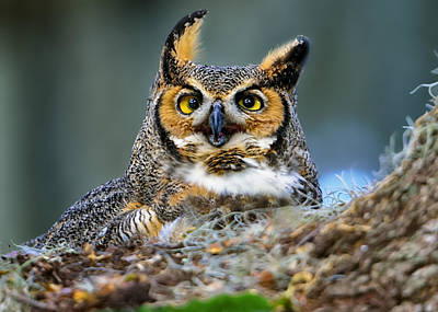Photograph - Great Horned Owl by Bill Dodsworth