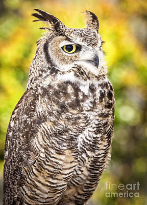 Photograph - Great Horned Owl Large Canvas Art, Canvas Print, Large Art, Large Wall Decor, Home Decor, Photograph by David Millenheft