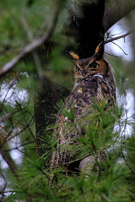 Photograph - Great Horned Owl by Gary Hall