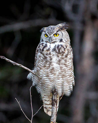 Photograph - Great Horned Owl  by Jack Bell