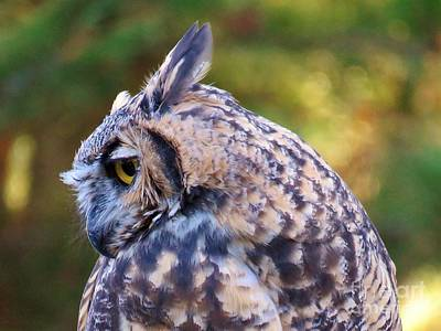 Photograph - Great Horned Owl  by Michele Penner