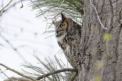 Photograph - Great Horned Owl On Alert by Tony Hake