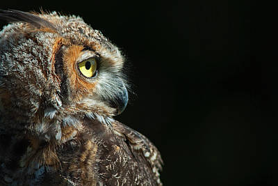 Photograph - Great Horned Owl by Pat Exum