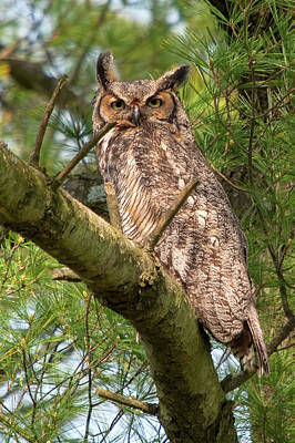 Photograph - Great Horned Owl by Steve Stuller