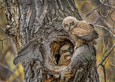Owlets Photograph - Great Horned Owlets In A Nest by Dawn Key