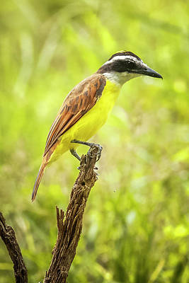 Photograph - Great Kiskadee Panaca Quimbaya Colombia by Adam Rainoff